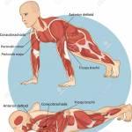 Adakah Push Up Membina Otot Yang Besar?